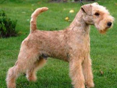 Lakeland Terrier £40