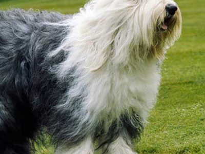 Old English Sheep Dog £70