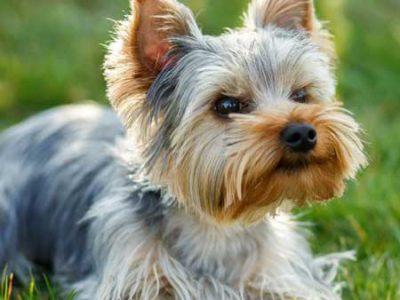 Yorkshire Terrier £35